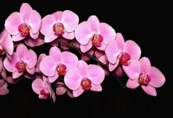 Come coltivare le orchidee in casa? Segreti di cura per questi fiori delicati