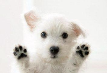 Uroczy vesthaylendsky white terrier – odważny i zręczny myśliwy
