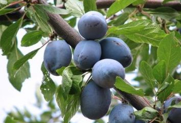 Malattie prugne e lotta contro di loro: per aiutare i giardinieri alle prime armi