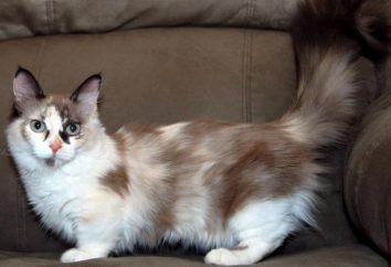 gato anão: pontos de vista e descrições. gato pequeno doméstico (foto)
