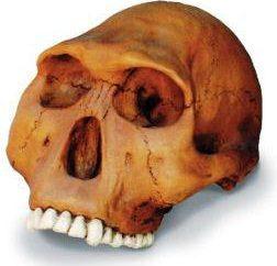 Homo habilis – caratteristiche e lo stile di vita dei nostri antenati