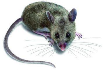 Capisco il sogno in un mouse sogno