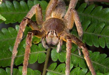 Brazylijski pająk bananowy
