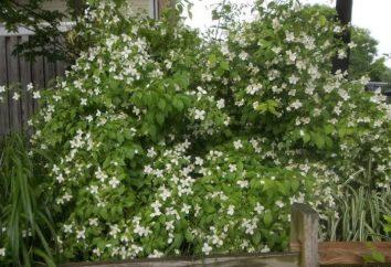 Chubushnik: Vermehrung durch Stecklinge – die beste Option