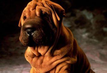 Shar pei pies rasy. Liczba właścicieli