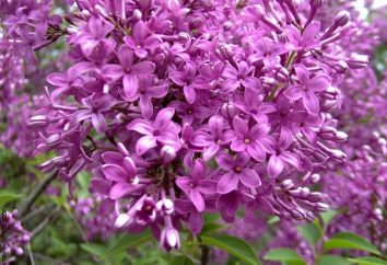 Arbusto preferita – lillà. Quando piantare, come prendersi cura?