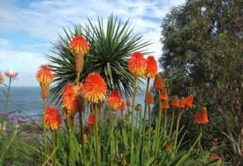 Fleurs knifofiya: la plantation et l'entretien dans les champs, la culture et l'élevage
