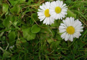 Daisy: piantagione e cura delle piante