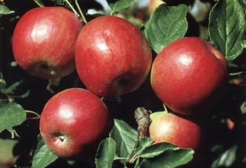 A principios de color rojo – manzano para los jardines del sur
