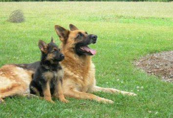 Pastore Tedesco: quanti cani vivono questa razza? Fattori che influenzano la durata della vita dei cani pastore tedesco