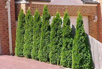 Thuja Smaragd – la plantation à l'automne. Comment planter un cinquième Smagard?