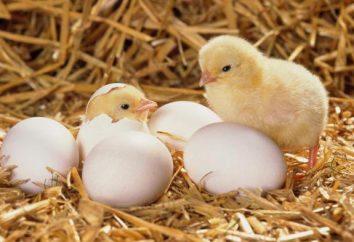 « Poule parfait » (incubateurs): enseignement, avantages et inconvénients