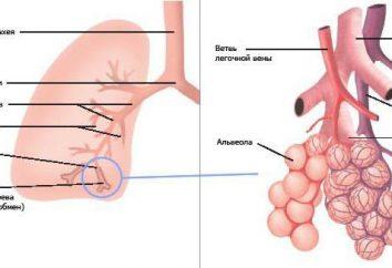 Quali sono gli alveoli. alveoli polmonari