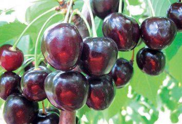 Cherry preferito di Astakhov: descrizione della varietà, particolarmente in crescita