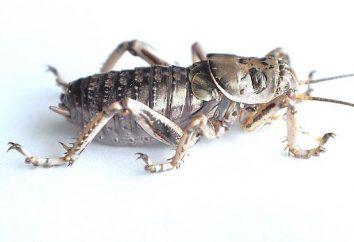 Campo da cricket: descrizione, caratteristiche, habitat e fatti interessanti