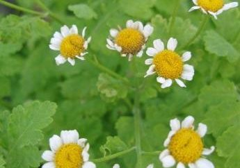 Coltivare piretro – semina e la cura non sono gravati!