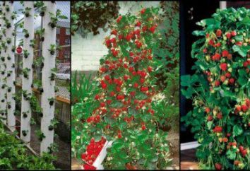 Jak rosną truskawki w rurze?
