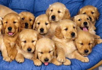 Interpretazione dei sogni: ciò che sogna cuccioli di cane