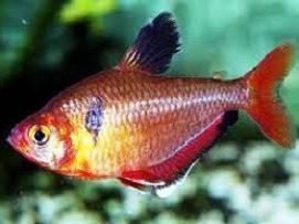 peces tetra rojo o Menor-: características de los contenidos en el acuario