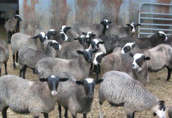 Kuibyschew Rasse Schafe – die optimale Wahl für ein profitables Geschäft und Haushalt