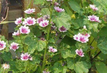 Marshmallow: syrop, opinii o tym, tradycyjne leki oparte na nim