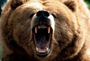 Interpretazione dei sogni. Perché il sogno di orsi