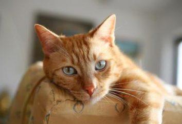 Zapalenie błony śluzowej żołądka u kotów: Przyczyny, objawy, leczenie i profilaktyka. Jak nakarmić kota w domu