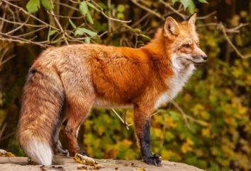 Ciekawe mało znane fakty o tym, co długość życia lisów, jej zwyczajów i diety