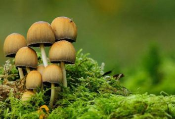 E 'vero che un sacco di funghi – un cattivo presagio (per la guerra)? presagi Folk circa funghi