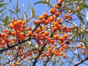 olio di olivello spinoso: la ricetta della sua preparazione e l'uso in casa