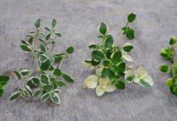 Tea Thyme: nützliche Eigenschaften. Immobilien in Thymian Tee