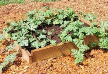 Come piantare angurie – consigli per un buon raccolto