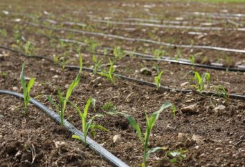 Nawadnianie kroplowe z rękami na złom. Jak zrobić ogród ściekową nawadnianie w kraju własnymi rękami?