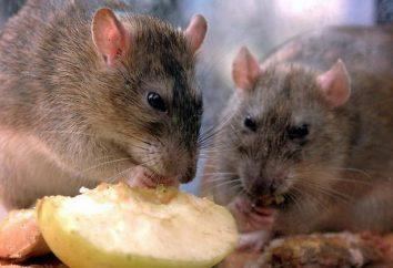 Piège à rat. La lutte avec les rats dans la maison