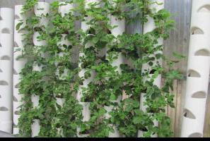 vertikale erdbeer landing in das rohr wie ein rohr f r die bepflanzung erdbeeren machen. Black Bedroom Furniture Sets. Home Design Ideas