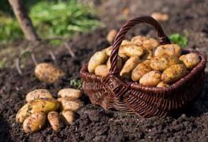 Comment planter des pommes de terre, pour recueillir une récolte abondante