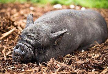 Vislobryuhaya Vietnamesisch Schwein: alles über die Rasse. Wie zu halten und vietnamesische Schweine falten zu züchten?