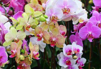 Phalaenopsis Sorten: Name, Beschreibung, Merkmale des Anbaus zu Hause