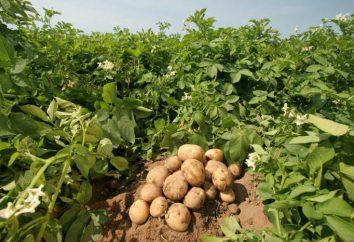 Plantones de patata varietal