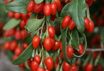 Como usar bagas de goji? goji berry para perda de peso: os comentários positivos e negativos. Goji: benefícios e malefícios