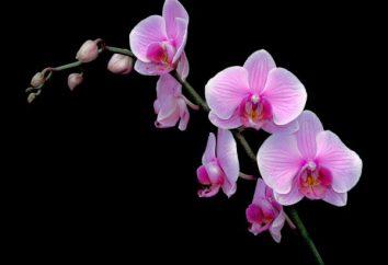 Pasta di citochinina per orchidee. Preparazione e utilizzo di pasta di citochinina