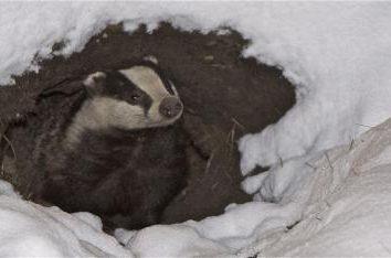 Czy mol wpada w stan hibernacji w zimie? Kto nie hibernacji?