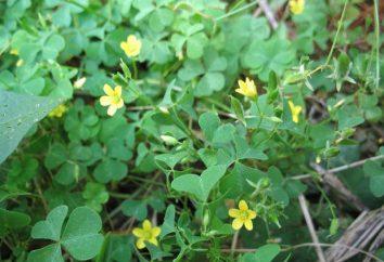 Krautige Pflanzen: Beispiele und Fotos