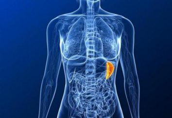 Die Hauptfunktion der Milz im Körper. Größe, Körperstruktur