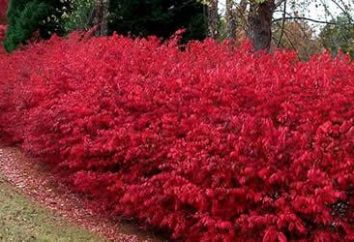 Roślin Euonymus Alatus – udekorować jasny krzak ziemi