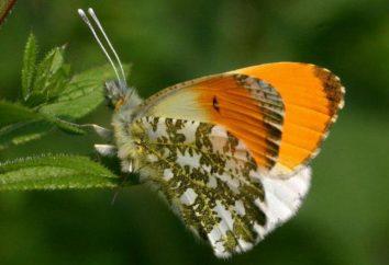 Farfalla Alba: foto e descrizione