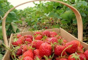 Morangos: frutas frescas calórica e enlatados