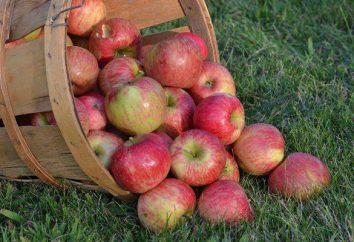 Orlinka – maturazione precoce mela
