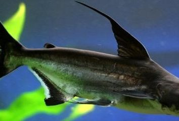 Inicio depredador – el pangasiidae