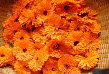 Curación flor de caléndula. Propiedades útiles y contraindicaciones